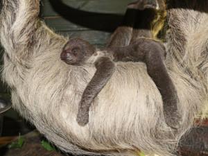 Lenochodi v jihlavské zoo mají třítýdenní mládě. Pavilon je pro návštěvníky uzavřený