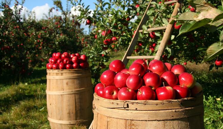 Úroda jablek po mrazech a suchu klesne asi o třicet procent