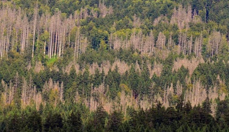 Vysoké Studnice už jsou bez smrkových lesů. Kvůli kůrovci tratí i jiné obce Jihlavska