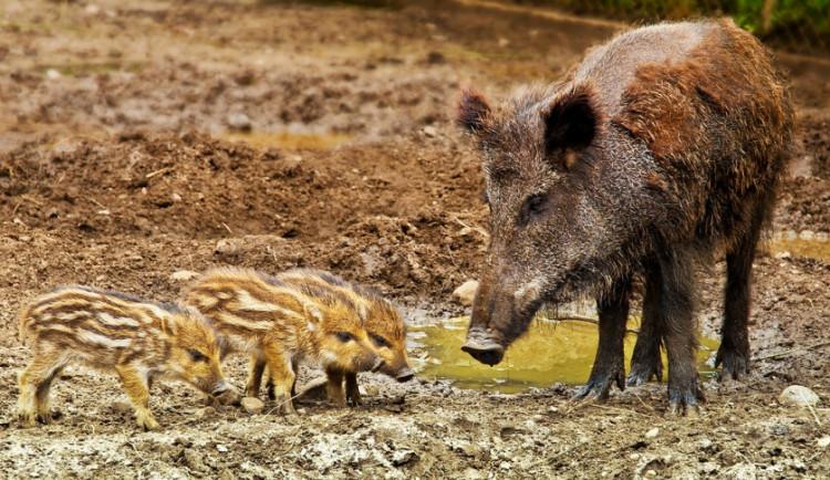 Kraj Vysočina už dal na snížení počtu divokých prasat tři miliony korun