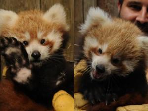 Zoo Jihlava slaví další chovatelský úspěch, narodila se dvě mláďata pandy červené