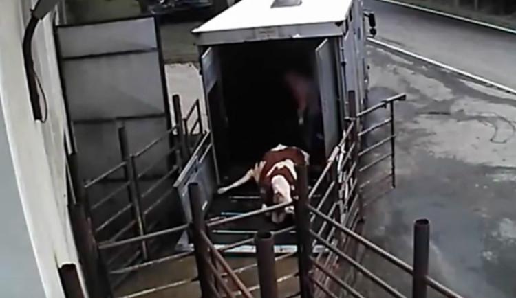 VIDEO: Kopání i elektrické výboje. Skrytá kamera zachytila zacházení se zuboženými zvířaty
